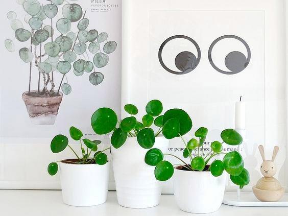La planta de moda para decorar tu vivienda: Pilea Peperomioides o Planta China del dinero.
