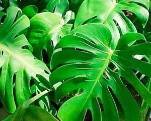 plantas-de-interior-hojas-grandes-decoracion-viviendas